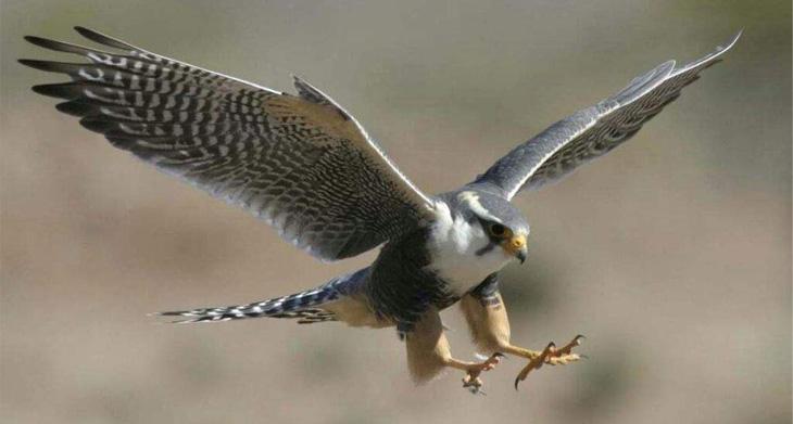 Conheça o falcão que atinge 300 km/h – Vídeo! – Noticia Alternativa