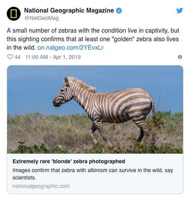 zebra loira